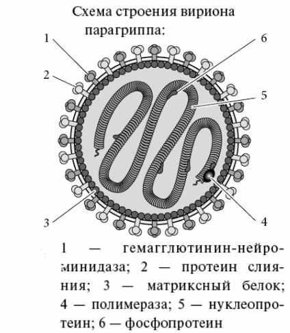 Вирус парагриппа